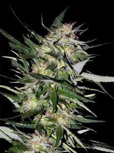 Advanced SeedsCollection #4 Feminised Seeds