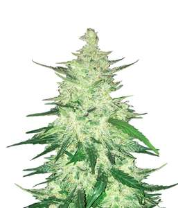 FastBuds Seeds Crack CBD Auto Feminised cannabis seeds