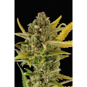 Dinafem Seeds Critical Cheese Feminised cannabis seeds