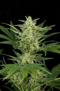 Dinafem Seeds Critical Jack Auto Feminised cannabis seeds