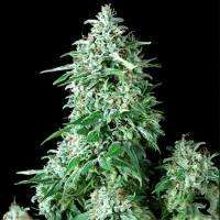 Positronic Seeds Cum Laude Feminised cannabis seeds