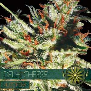 Vision SeedsDelhi Cheese Auto Feminised Seeds