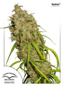 Dutch Passion Desfran Feminised cannabis seeds