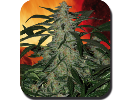 Buddha Seeds Deimos Auto Feminised cannabis seeds