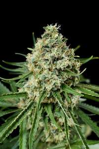 Dinafem Seeds Dinamex Auto Feminised cannabis seeds