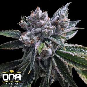 DNA Genetics El Fuego Auto Feminised cannabis seeds