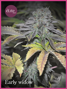 Elite Seeds Early Widow Feminised- Elite cannabis seeds