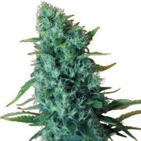 Dr Krippling Seeds Gorilla Infested Gelato Auto Feminised cannabis seeds