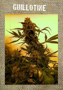 French Touch SeedsGuillotine Auto Feminised Seeds