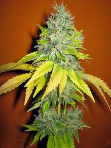Seedsman Jack Herrer Feminised cannabis seeds