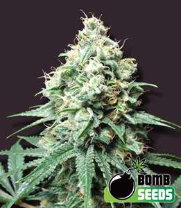 Bomb Seeds Kush Bomb Feminised cannabis seeds