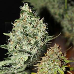 Connoisseur GeneticsLabrador Regular Seeds - 11