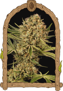 Exotic SeedsHerz OG Feminised Seeds