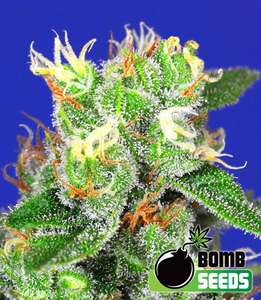 Bomb Seeds Medi Bomb #2 Feminised cannabis seeds