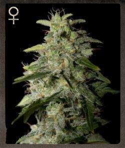 Strain Hunters Merchandise Money Maker Feminised cannabis seeds