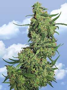 Flying Dutchmen Nepal Kush Feminised cannabis seeds