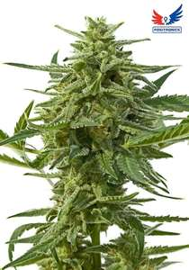 Positronic SeedsNorthern Haze Express Auto Feminised Seeds - 5