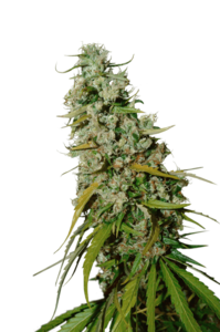 Super Sativa Seed Club Kees' Old School Haze Regular  cannabis seeds