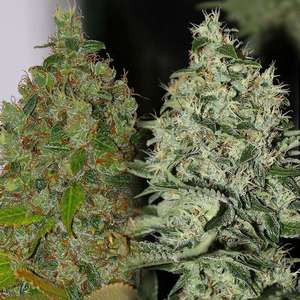 Connoisseur GeneticsOG Jones Regular Seeds - 11