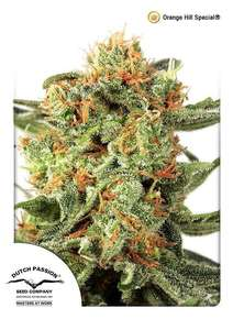 Dutch PassionOrange Hill Special Regular Seeds - 10