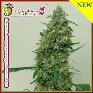 Dr Krippling SeedsPatel's Cornershop Surprise Feminised Seeds