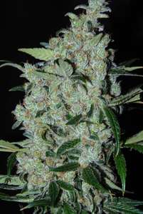 CannabiogenPurple Mexican Feminised Seeds