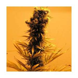 Nirvana SeedsRaspberry Cough Feminised Seeds - 5