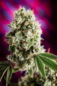 Homegrown Natural WondersQuantum Kush Regular Seeds