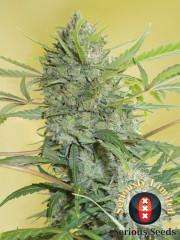 Serious SeedsSerious Happiness Feminised Seeds - 6