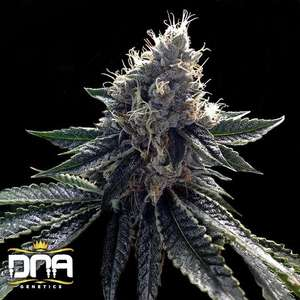 DNA GeneticsSour Kosher Feminised Seeds