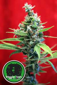 Reggae SeedsSra. Amparo Feminised Seeds