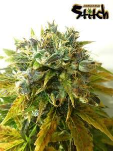Flash SeedsStardust Autoflowering Regular Seeds - 8