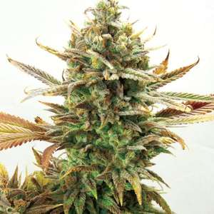 Garden Of Green Super Critical Bud CBD Feminised Seeds