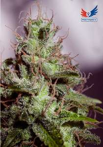 Positronic SeedsSuper Cheese Express Auto Feminised Seeds - 5