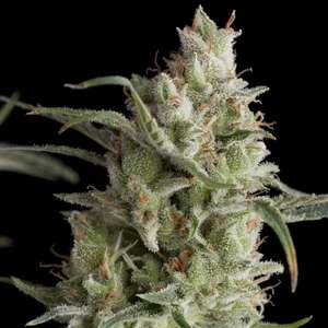 Pyramid SeedsSuper OG Kush Feminised Seeds