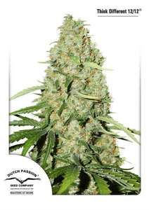 Dutch PassionThink Fast Feminised Seeds