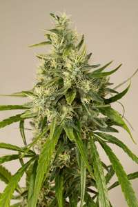 Humboldt SeedsTrainwreck Regular Seeds