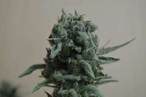 Kalashnikov SeedsWhite Widow 47 Feminised Seeds