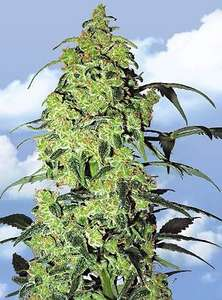 Flying DutchmenWhite Widow Feminised Seeds