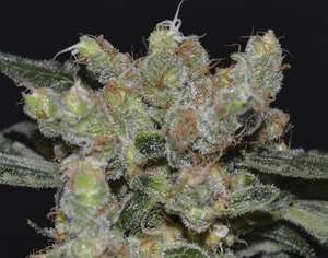 CBD SeedsZen Feminised Seeds