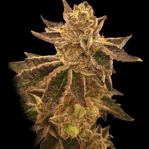 Cookie OX Feminised Seeds - 6