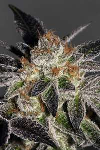 Cookies Feminised Seeds - 6