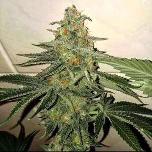 Forbidden Fruit Cake Feminised Cannabis Seeds by The Plug