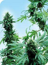 Sensi SeedsEarly Skunk Regular Seeds