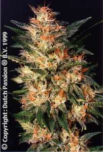 Dutch Passion White Widow Feminised cannabis seeds