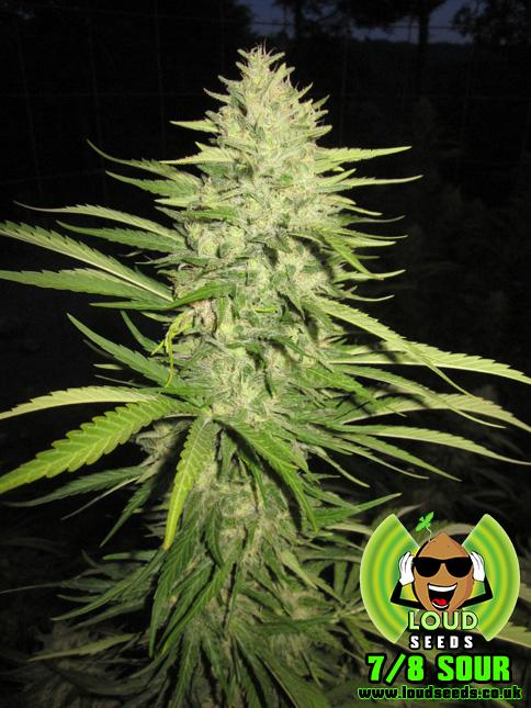 Loud Seeds 7/8 Sour Regular cannabis seeds