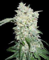 World of Seeds Afghan Kush Special Feminised cannabis seeds