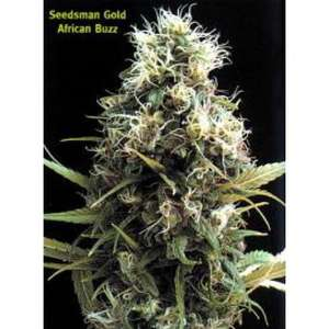 SeedsmanAfrican Buzz Regular Seeds