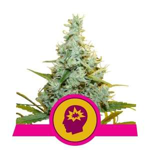 Royal Queen SeedsAMG (Amnesia Mac Ganja) Feminised Seeds