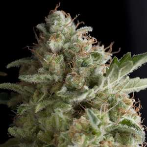 Pyramid Seeds American Pie Feminised cannabis seeds